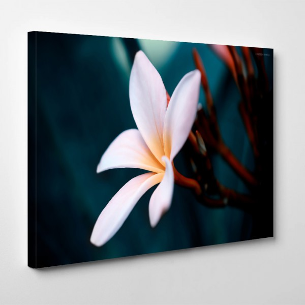 White-Plumeria-Flower-Close-Up-Desktop-Wallpaper.jpg